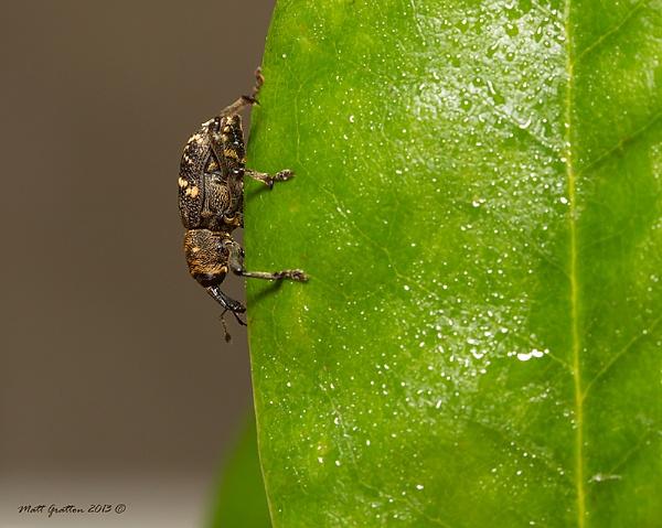 Weevil 3 by mohikan22