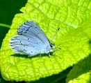 Holly Blue (Probably)