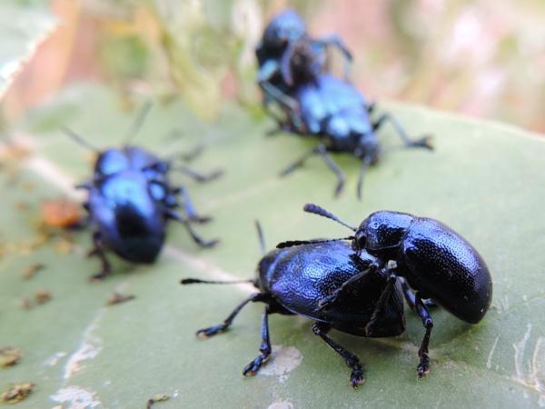 Blue milkweed beetle by Buddhadev