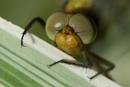 Eyes of Dragonfly