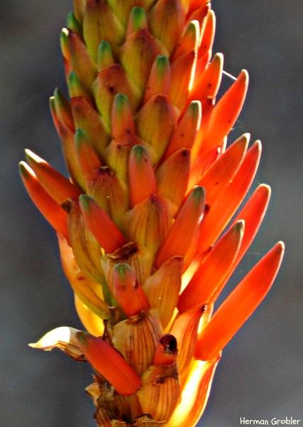 First Aloe by Hermanus