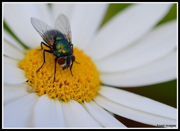 The fly and the daisy by ColleenA
