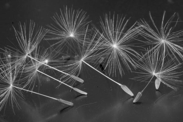 Dandelion seeds by Tigger1