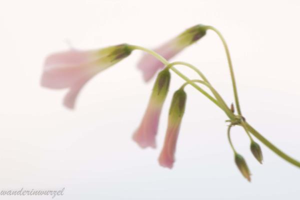 flower by wanderinwurzel