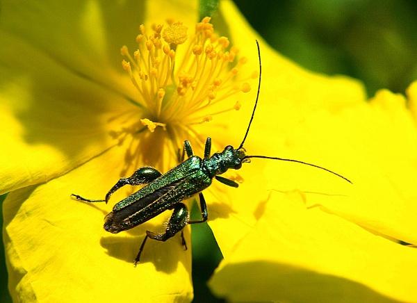 Wide-legged flower beetle by turniptowers