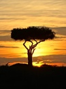 Boscia tree against the Kenyan sunset (watercolour)
