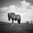 Shetland Pony, North Devon