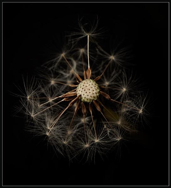 Dandelion Roartrait by Morpyre