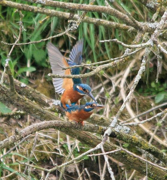 Mating Kingfishers by Glostopcat