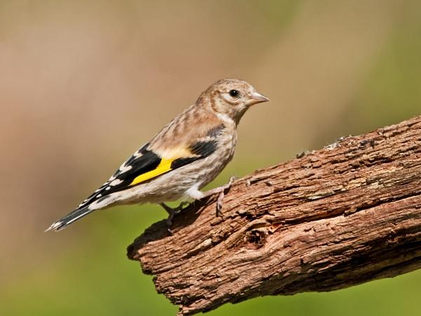 Juvenile Goldfinch by Trev_B