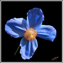 Harlow Blue