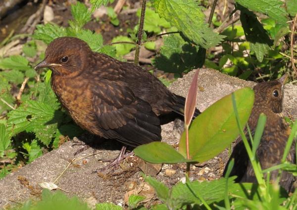 2 for 1 blackbirds by HSTONEY222