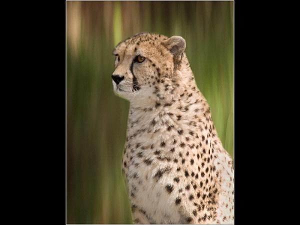 Cheeta by kamera