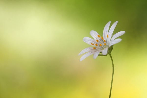 Little stitchwort by MandyD