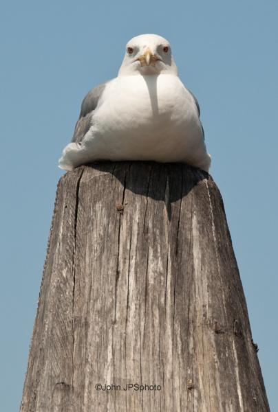 Venetian Gull by SkySkape
