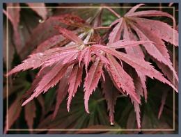 Acer-Leaves