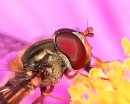Hoverfly Episyrphus baleatus feeding on a Purple Cosmos