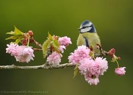 Blue Tit on Blossom