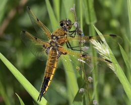 Four-Spotted Chaser - Dragonfly