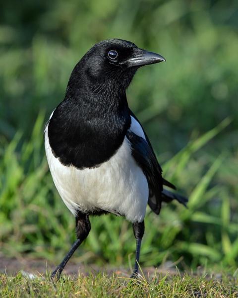 Magpie by hasslebladuk