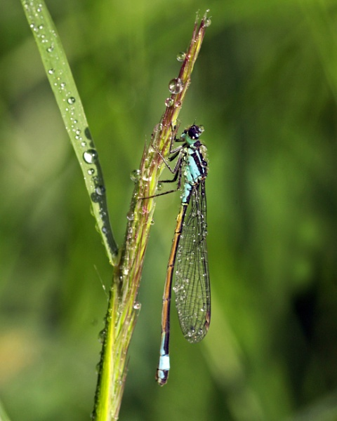 Blue Tailed Damselfly. by Goodley