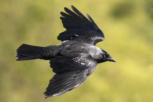 Flight of the Jackdaw by FrankMA