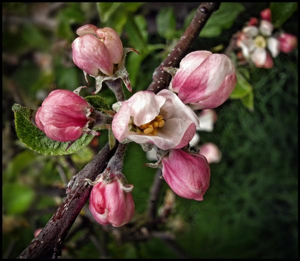 Hawthorn Blossom. by Niknut