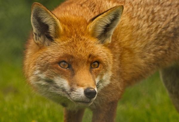 Fox Portrait by pf