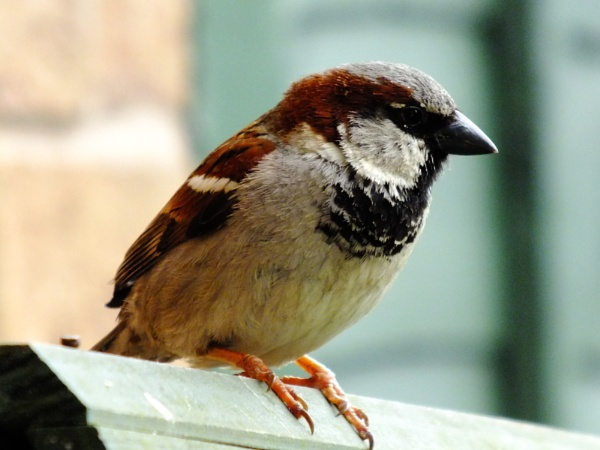 Cock sparrow by Derek_Fearn