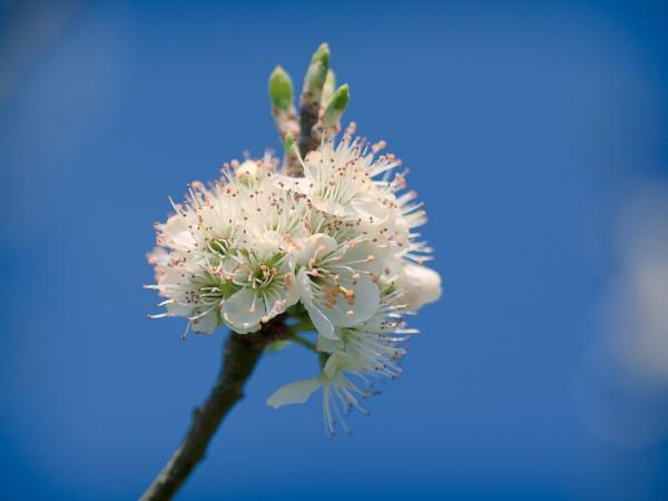 Damson Tree flowers by fintownsend