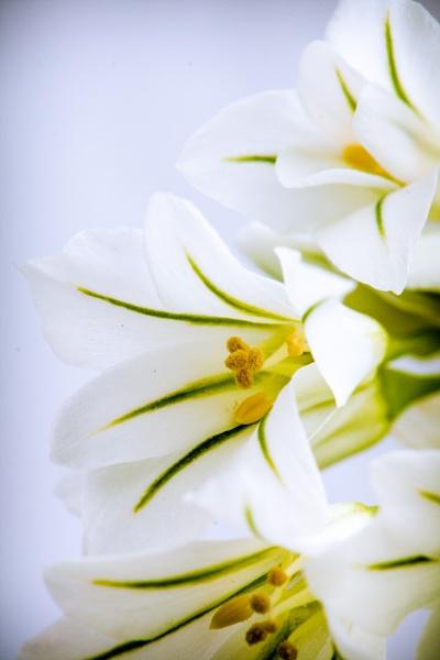 Wild Garlic closeup. by fintownsend