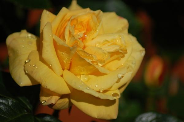 yellow rose by ianball