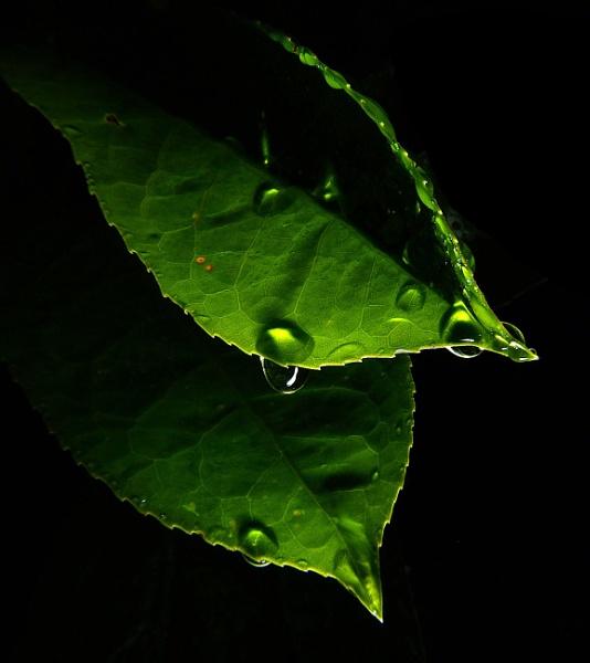 Raindrops on leaves by turniptowers