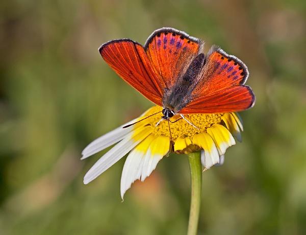 Lesser Fiery Copper by mattberry