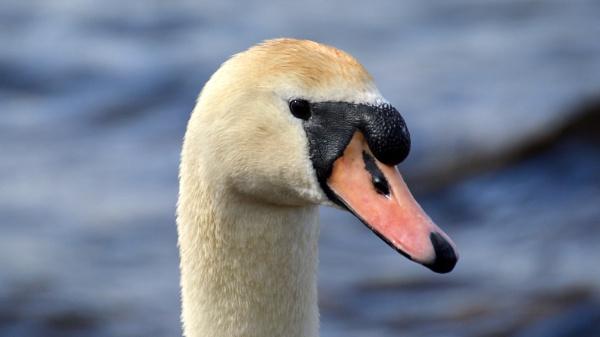 Mute Swan by gaza1957