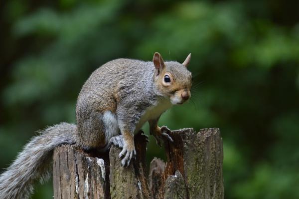 Grey Squirrel by gaza1957