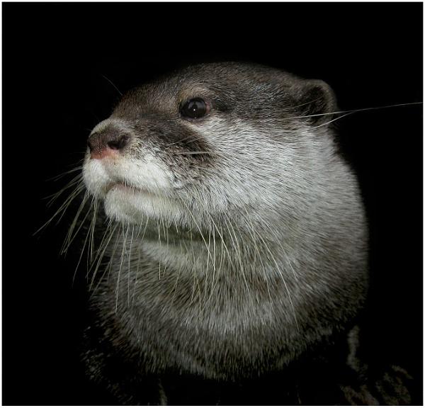 Otter by BigusDickus