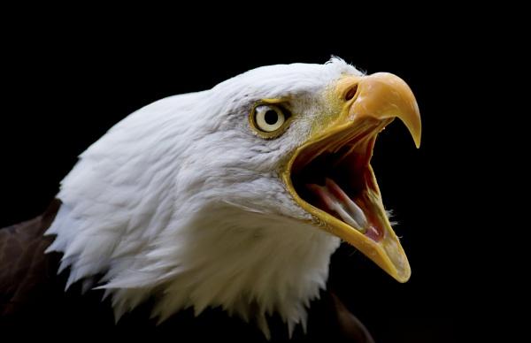 Bald Eagle by BigusDickus