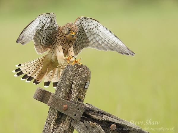 Female kestrel landing by Steve_S