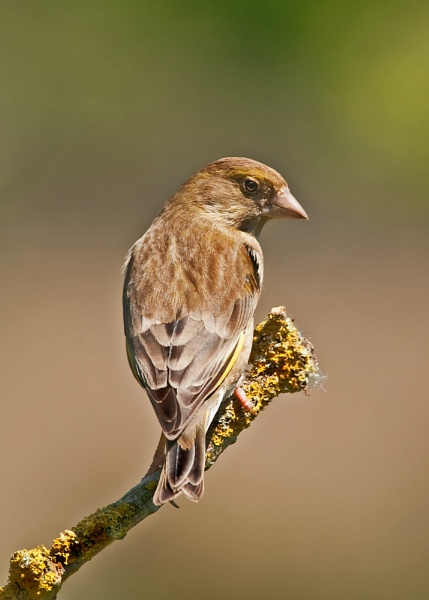 Hen Greenfinch One More Time by Trev_B