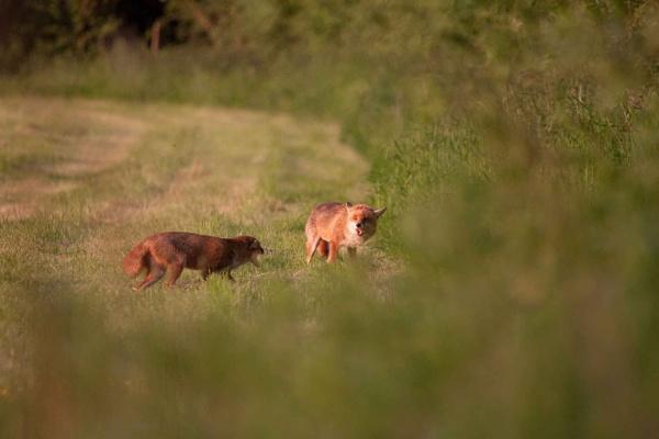 fox meeting by sheepdogshady