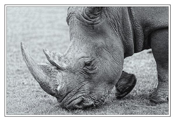 African White Rhino Grazing by PhilNewberry