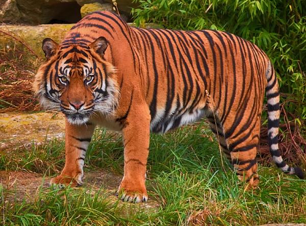 Sumatran Tiger (Panthera tigris sumatrae) by Houndog18