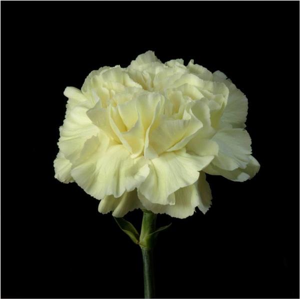 Carnation by Billyray