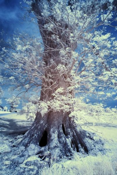 Ballymaloe Tree in B&W by jholmes