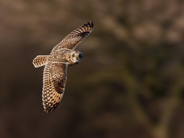 Short eared owl by Tom-Melton