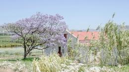 Where the Jacaranda Blooms