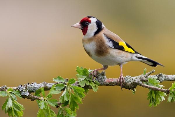 Goldfinch again! by Brian65