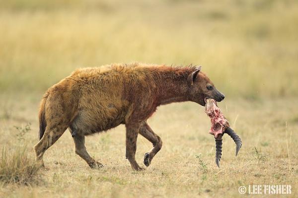 HYENA KILL by LeeFisher