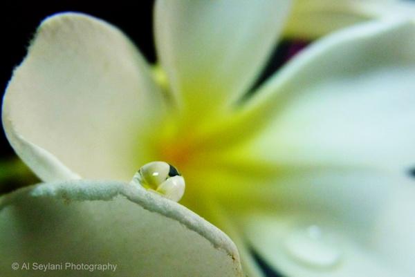Plumeria Droplet by jmu